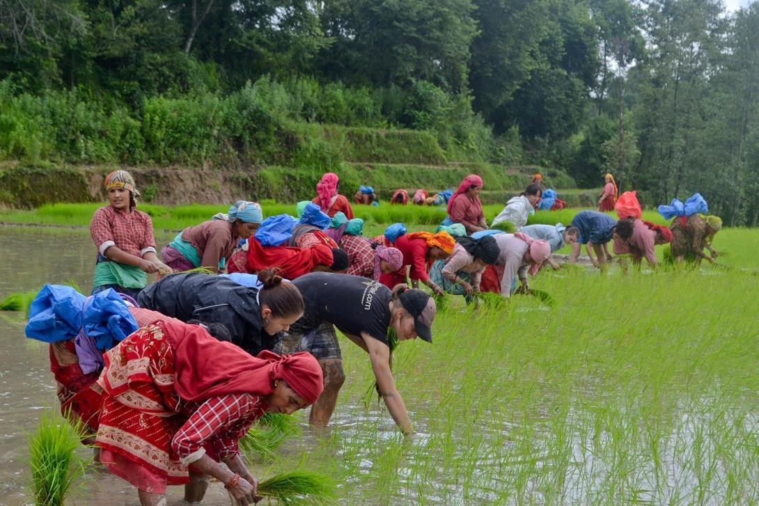 Volunteers in Nepal plant rice with some of the local people
